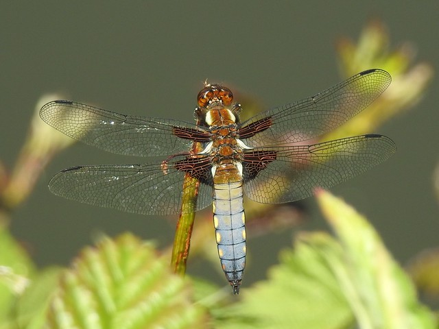Male female broad bodied chasers