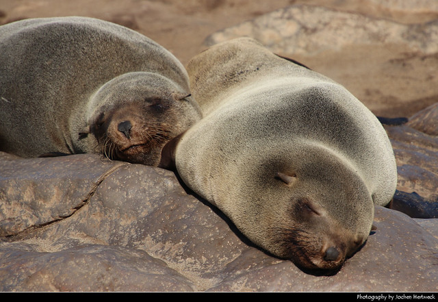 Cape fur seals, Cape Cross, Namibia