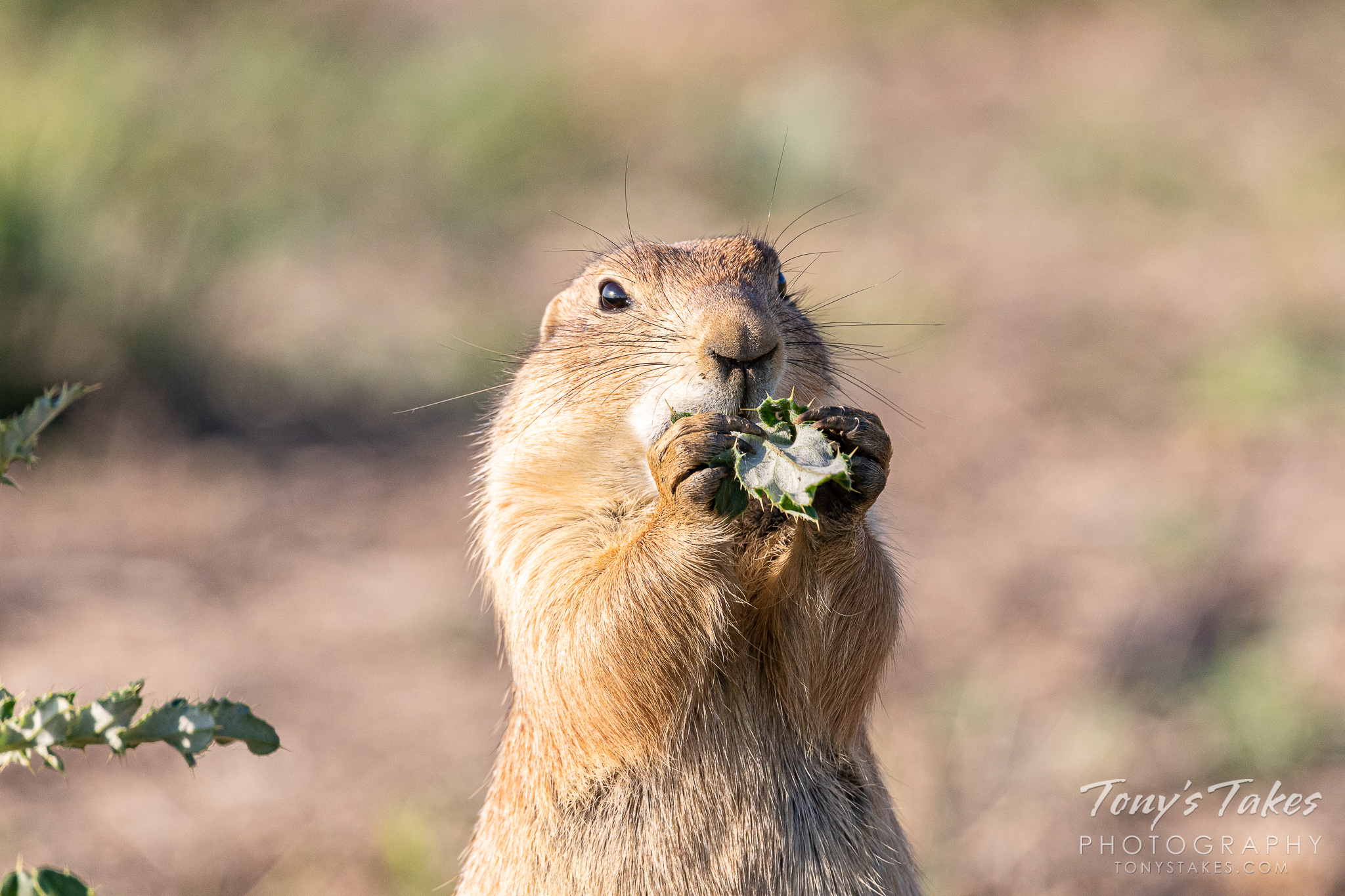 A prairie dog enjoys a snack in Fort Collins, Colorado. (© Tony's Takes)