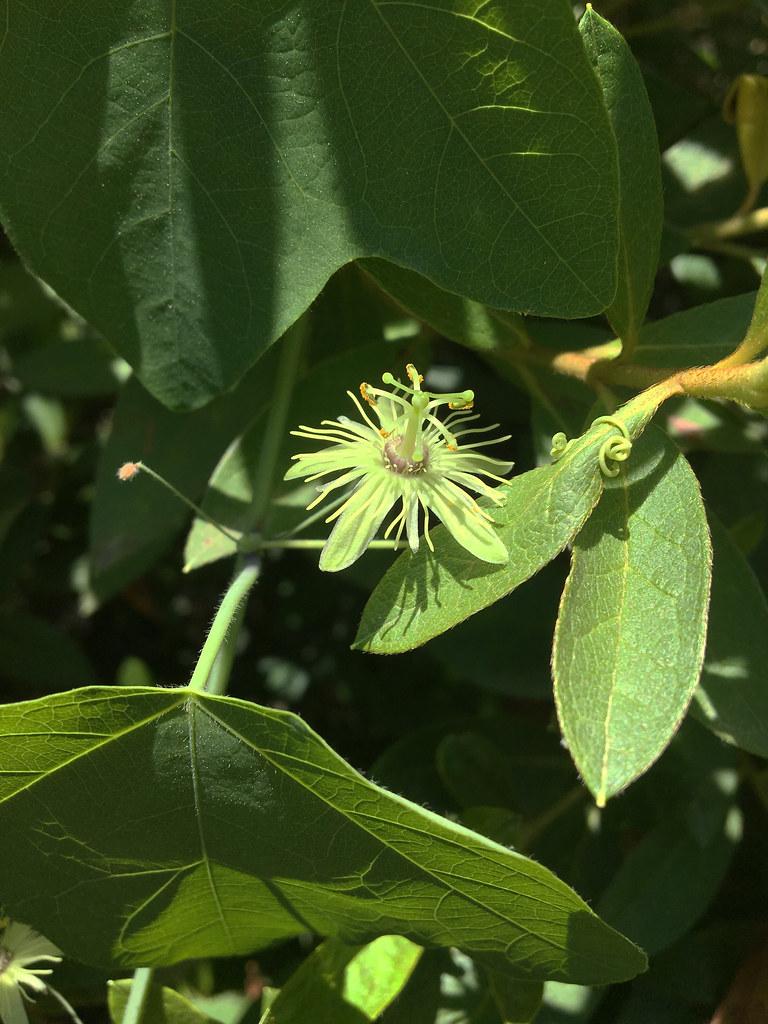 Passiflora lutea 01