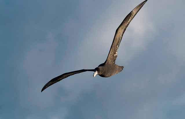 Southern Giant-Petrel (Immature) _ Macronectes giganteus
