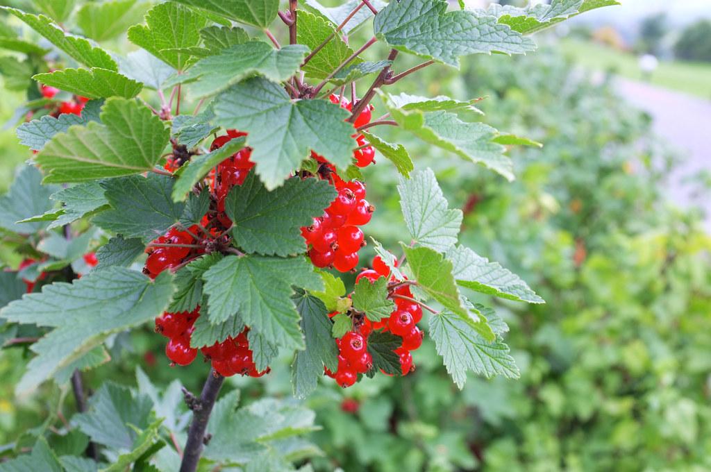 Czerwone porzeczki / Red currants