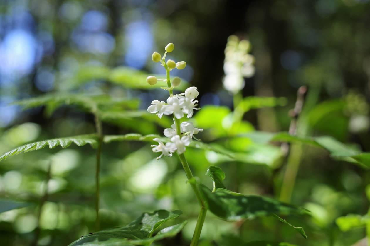 池ノ平湿原・ピグミーの森に咲いていた花