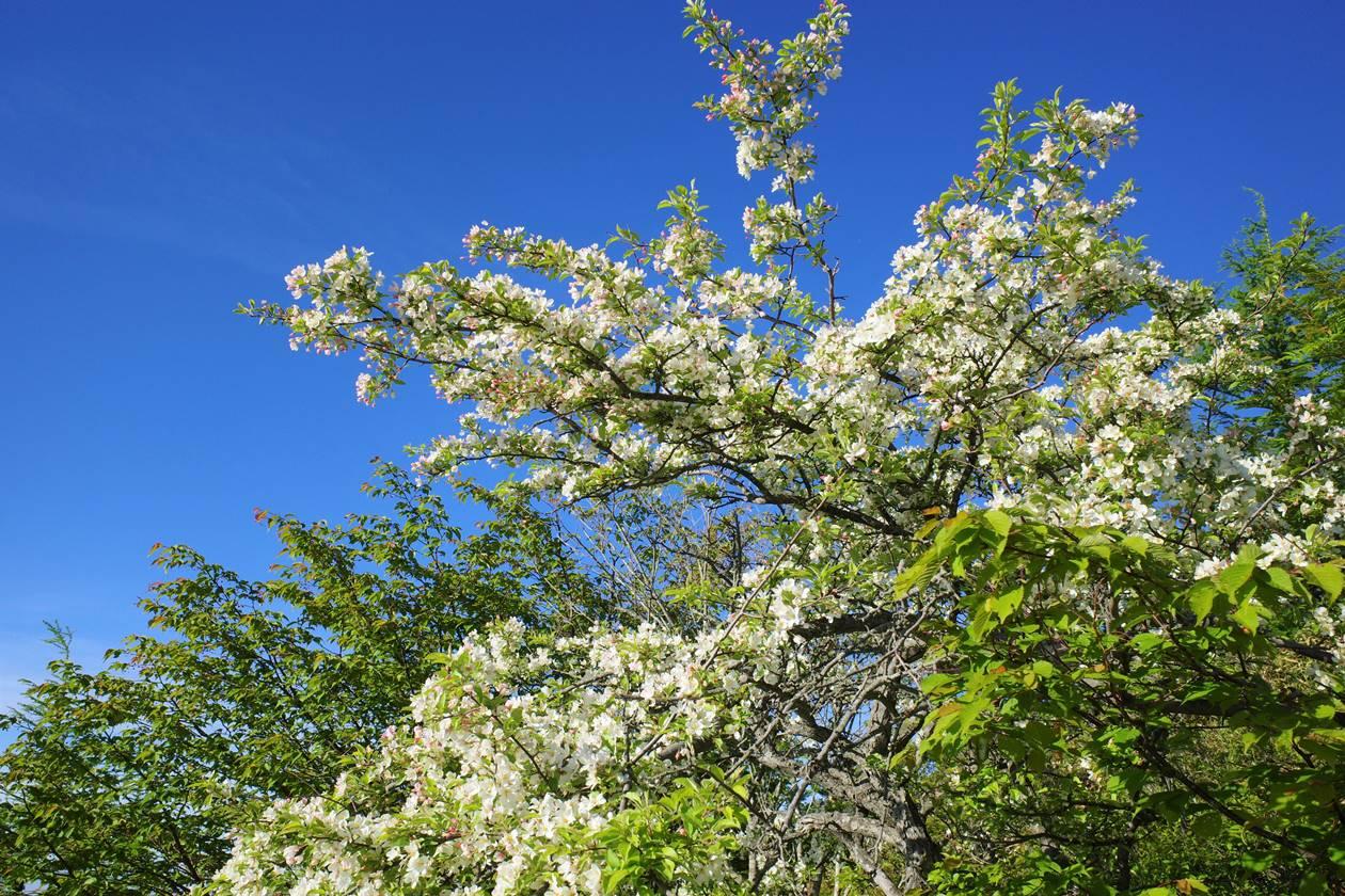 湯ノ丸山の桜