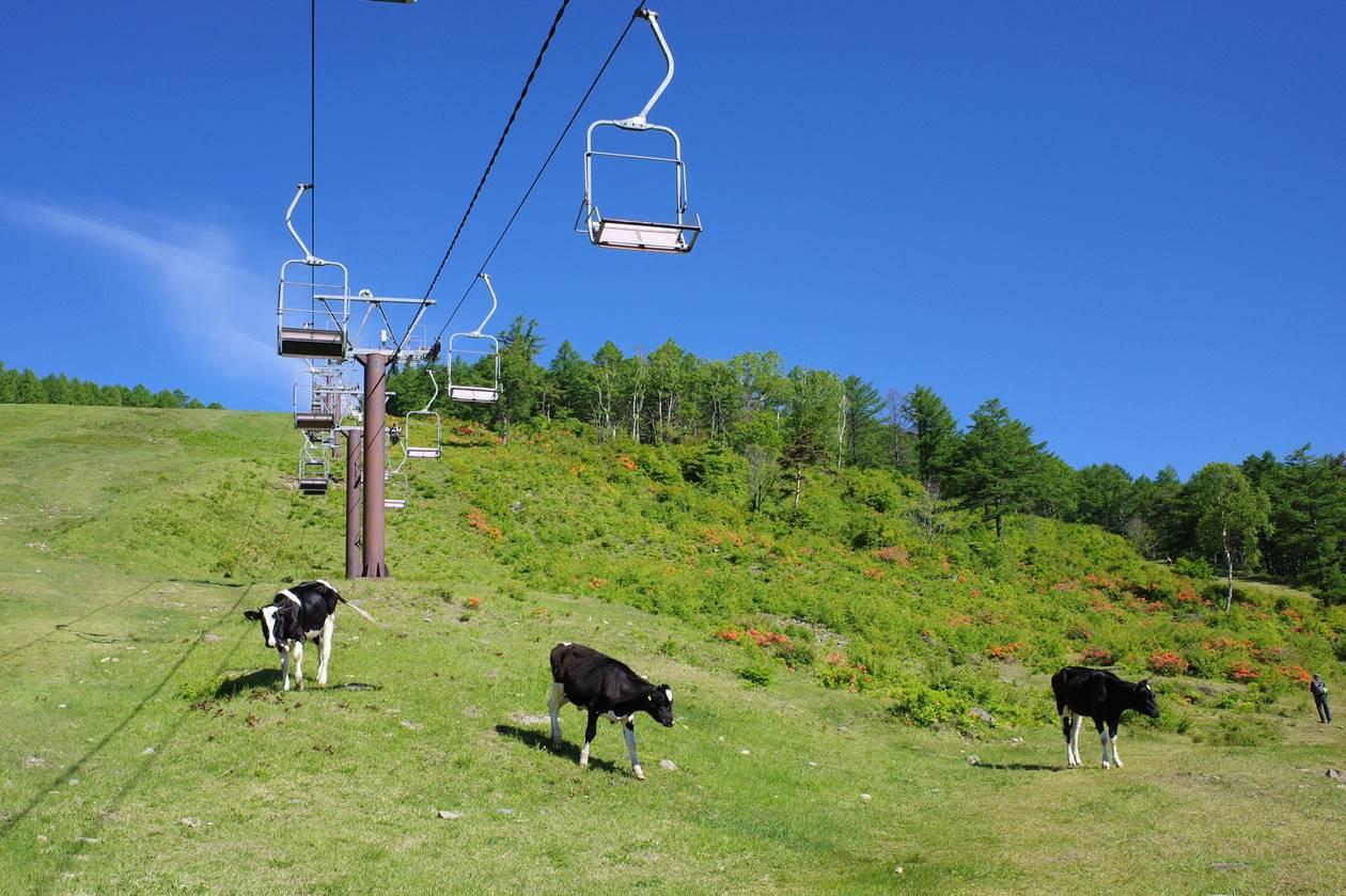 湯ノ丸山 放牧された牛