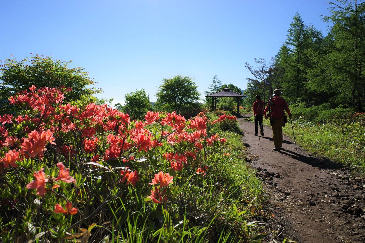 湯ノ丸山 登山道のレンゲツツジ