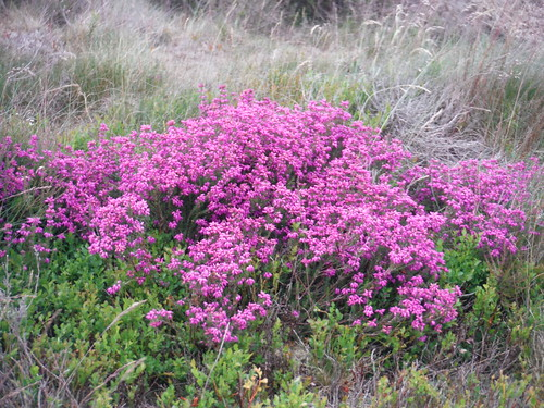 Sign of Things to Come on Smelting Hill: Heather in Bloom early July SWC Walk 343 - Hope to Hathersage or Bamford (via Castleton)