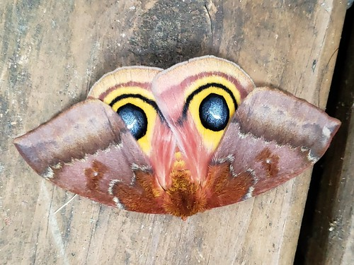 large moth on a piece of decking. its hind wings are exposed revealing two false eyes it uses to spook predators