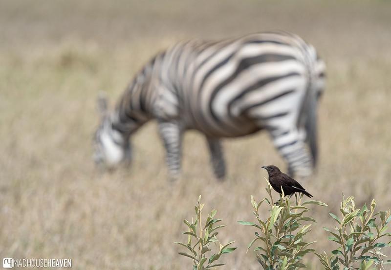 Kenya - 2091