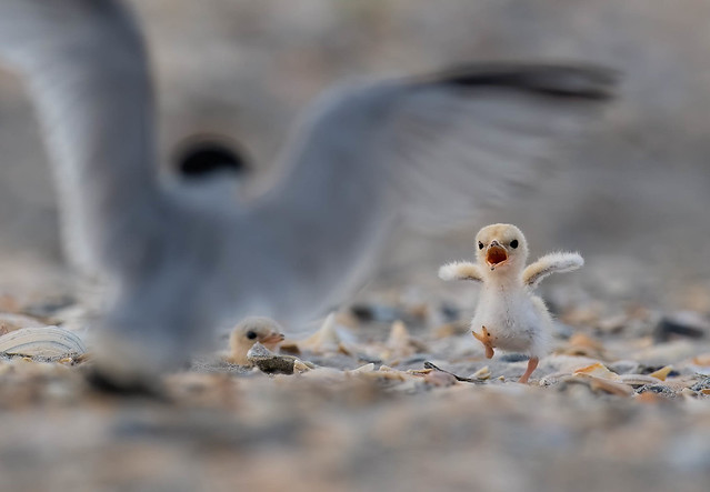 Least Tern Chicks