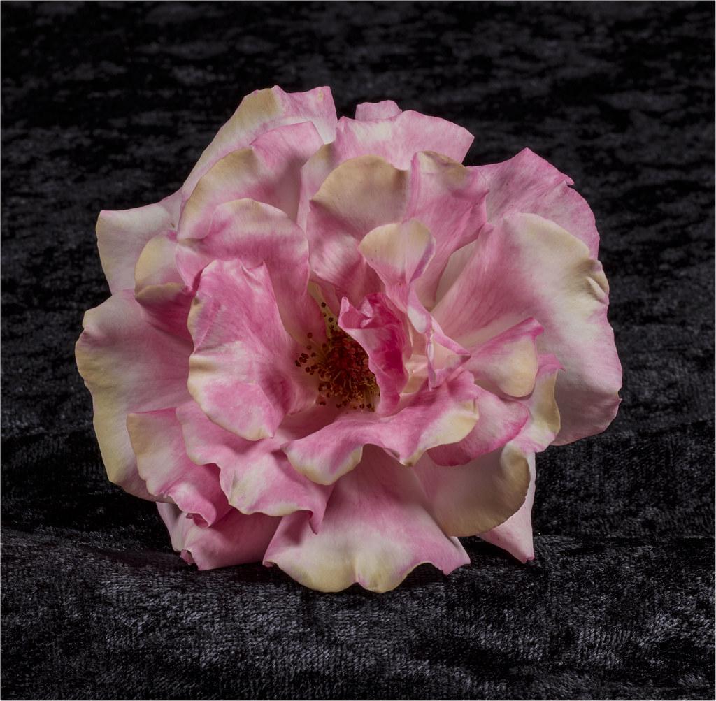 Rose 2 Paul Richards Flickr