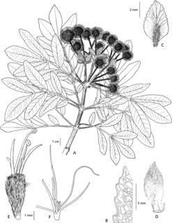 Pancheria mcphersonii