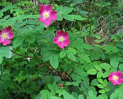 Rosa abyssinia