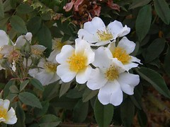 Rosa abyssinia