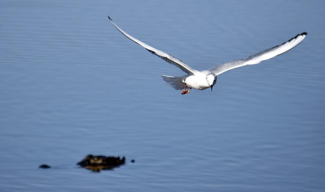 Bonaparte's Gull Winter Plumage