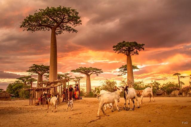 Coucher de soleil sur les baobabs de Morondava