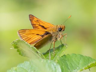 (033) Butterfly - Large Skipper - Wheatfen
