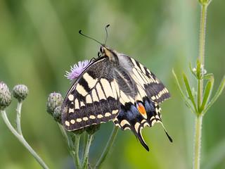 (018) Butterfly - Swallowtail - Wheatfen