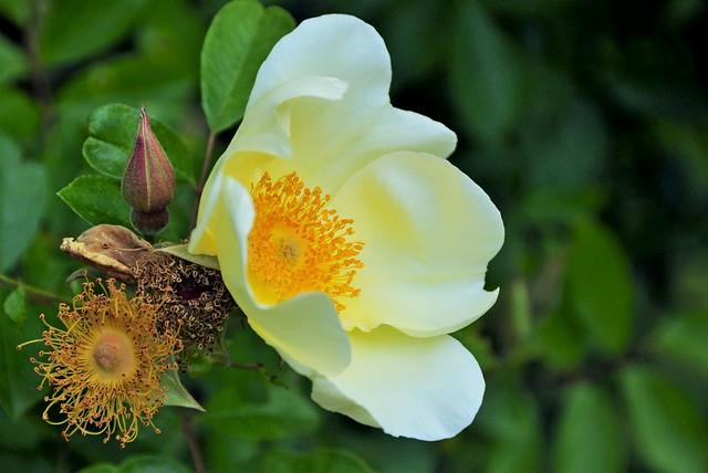 Rose or no rose