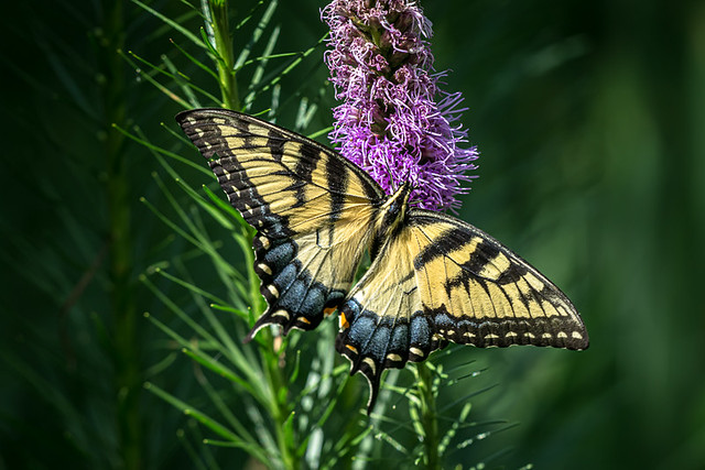Yellow Tiger Swallowtail (Papilio glaucus)