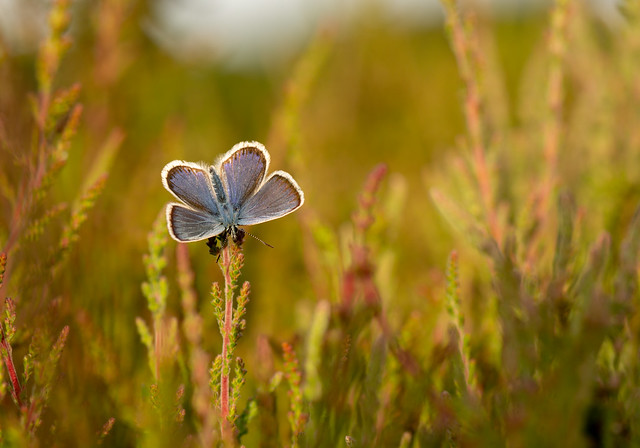 Silver-studded Blue in the evening light