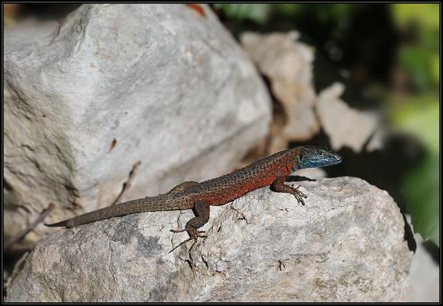 Algyroides nigropunctatus, Blue-throated keeled lizard, Mrki ljuskavi gušter, Dalmatian Algyroides, AD 2472 Fa, Merag Crkvica prema jami, Cres, 20190530 AD 2472 Merag Crkvica IMG_2190 fliks