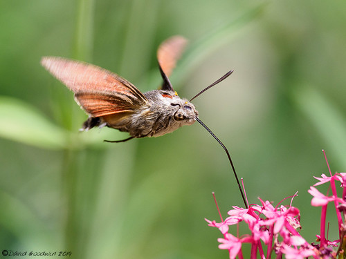 Hummingbird Hawk Moth | by D Goodwin