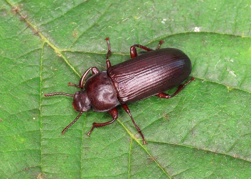 Mealworm Beetle - Tenebrio molitor