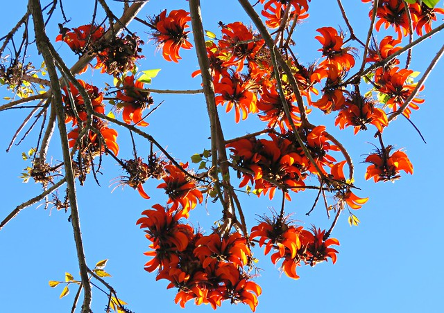 Coral Tree Sky!