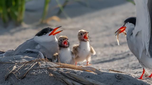 Common Tern Family