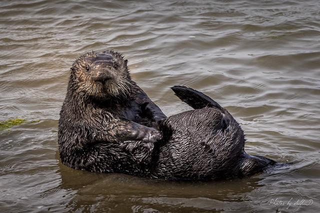 Sea Otter Grooming Time