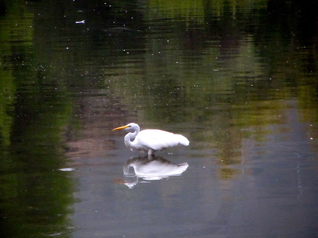 egret fishing