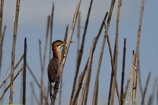 Least Bittern Anahuac NWR 7-19 | by johnd1964