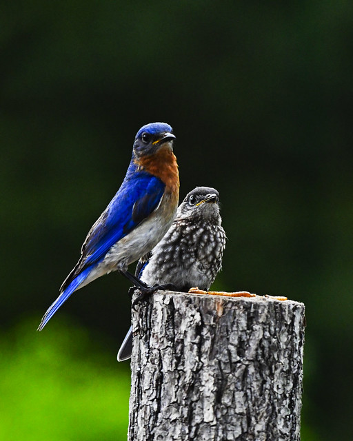Bluebirds, Male with recent fledging in Middle Tennessee