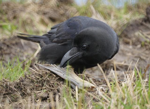 Large-billed Crow, Corvus macrorhynchos, Большеклювая ворона
