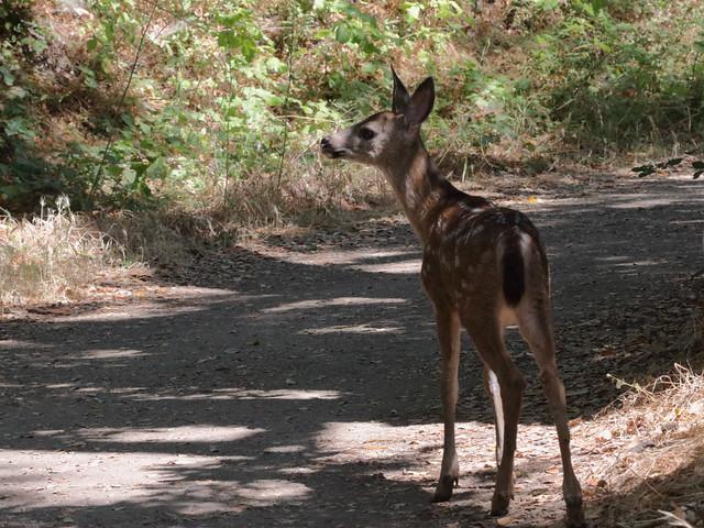 Black-tailed Deer fawn 9620b