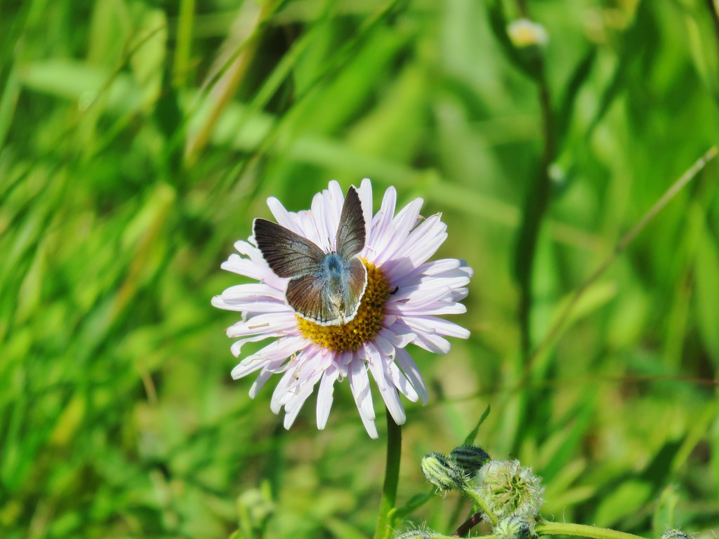 Blue copper on aster