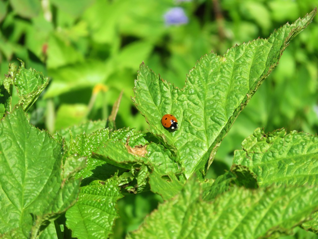 Ladybug on a thimbleberry leaf