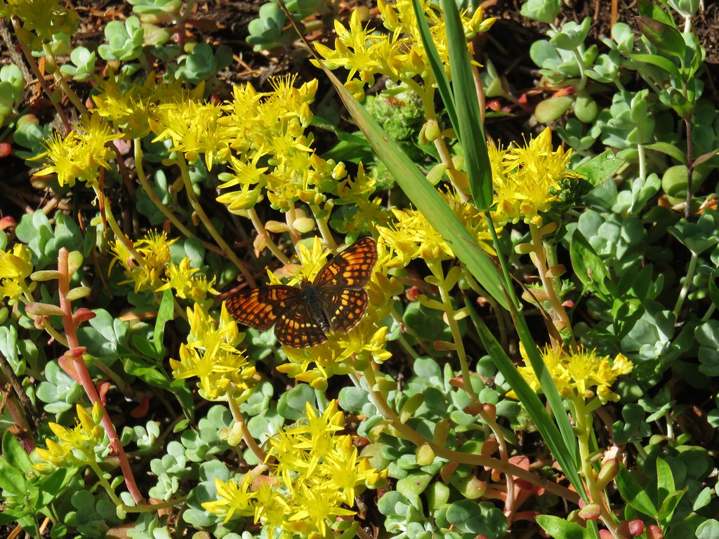 Butterfly on stonecrop