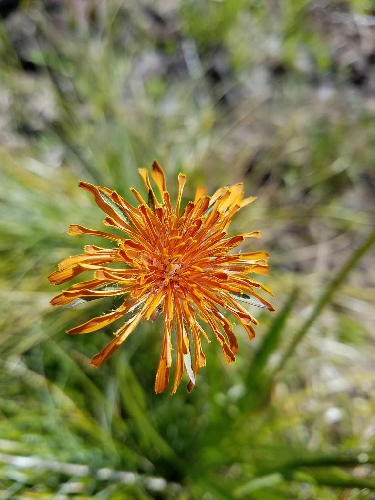 Orange agoseris