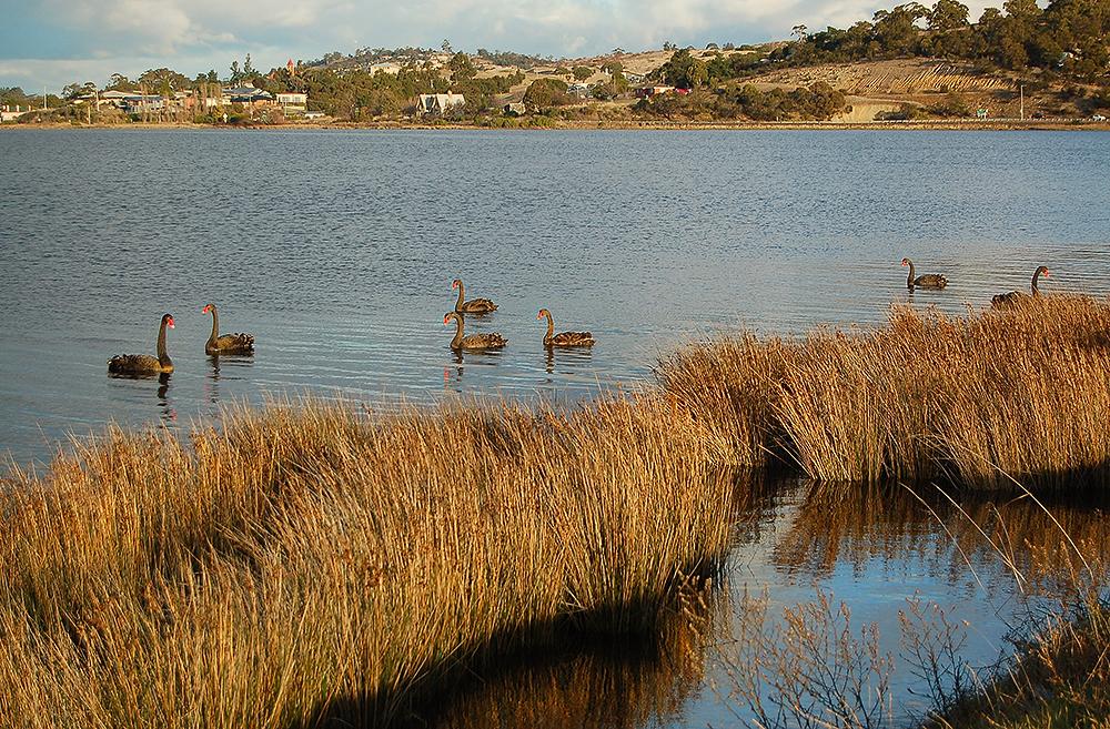_black_swans_Derwent_river_6_