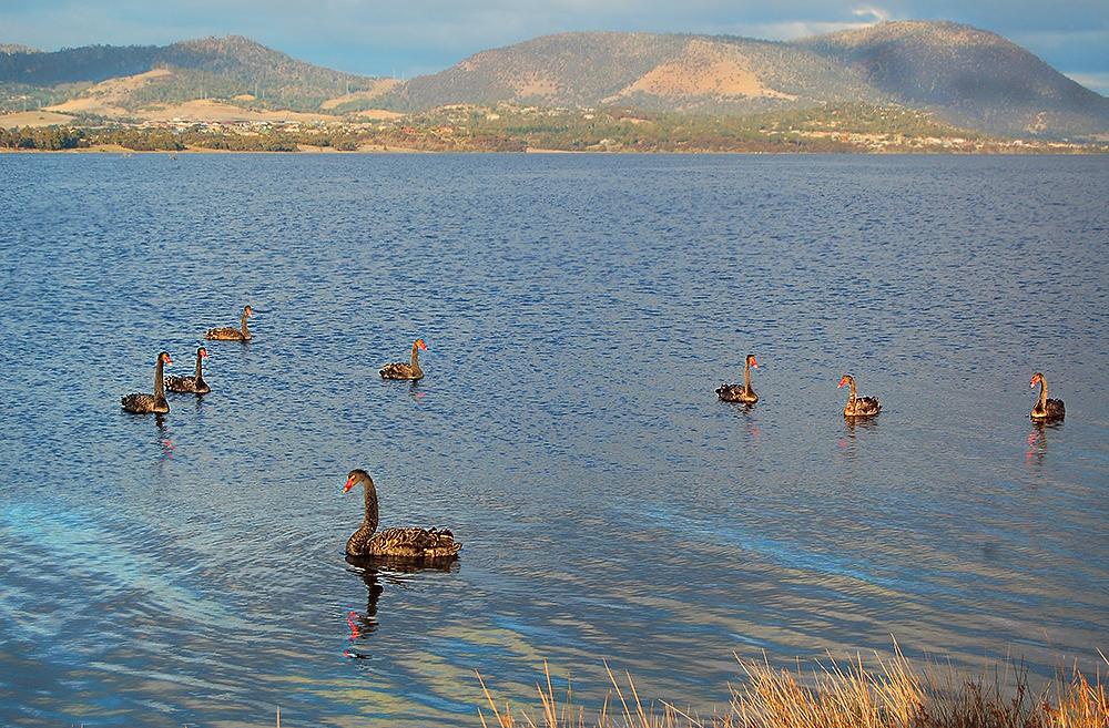 _black_swans_Derwent_river_4_