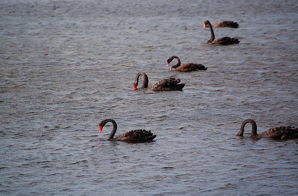 _black_swans_Derwent_river_3_