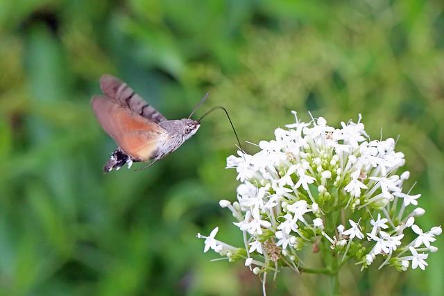 Hummingbird Hawk-moth, Burntisland, Fife, Scotland