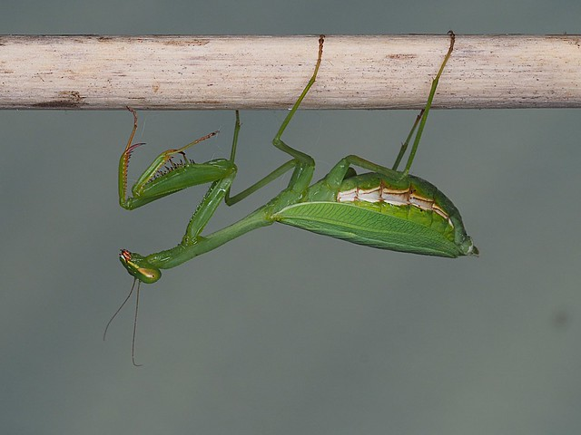 Female South African Mantis.