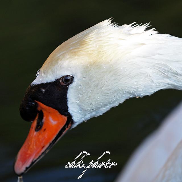 White swan posing