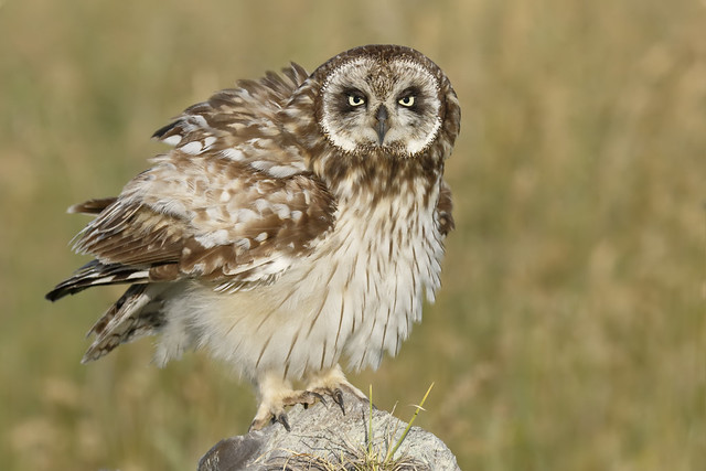 Pueo / Hawaiian Short-eared Owl (Asio flammeus sandwichensis)