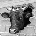 Male calf pokes his head through a hole in the wall of his stable. In Gavalas, municipality of Kymis