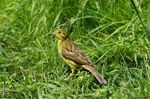 wild bird nature wildlife norfolk emberizacitrinella yellowhammer