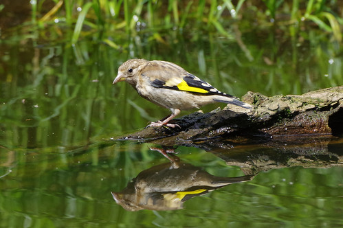 wild bird nature wildlife goldfinch norfolk cardueliscarduelis